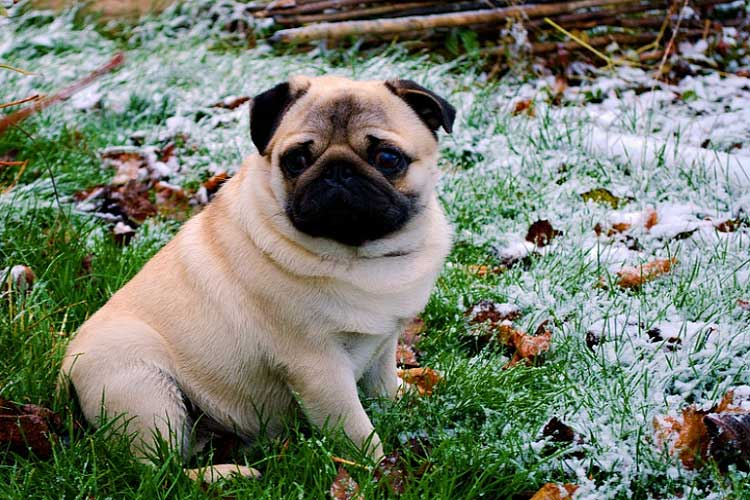 are pugs sensitive to cold