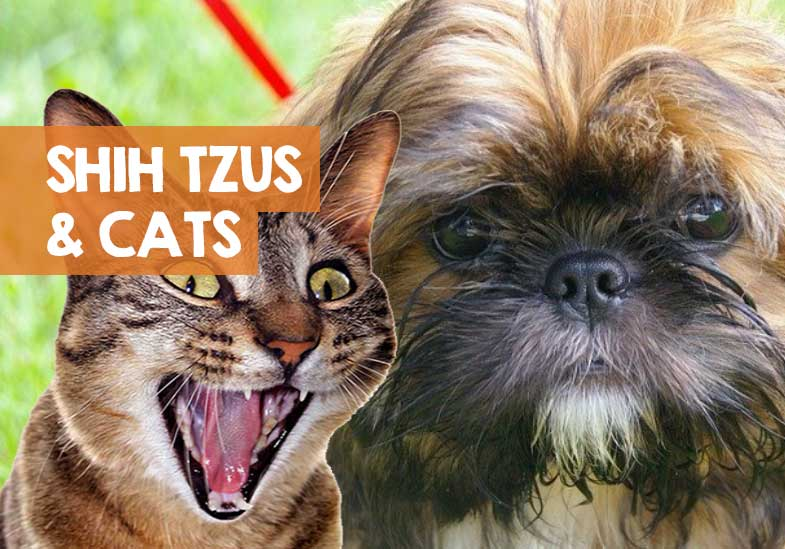 do shih tzus and cats get along