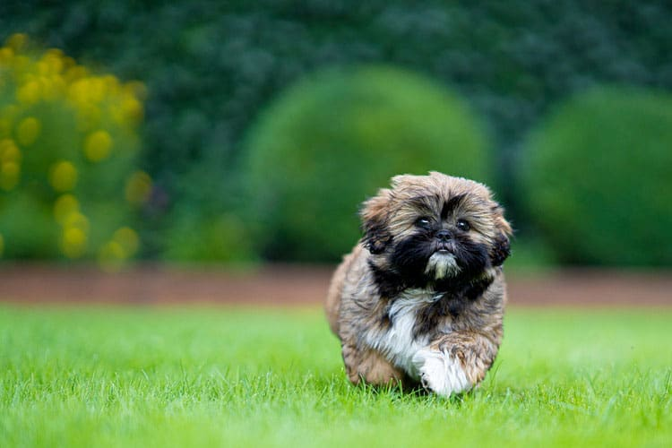 shih Tzus exercise and vomiting