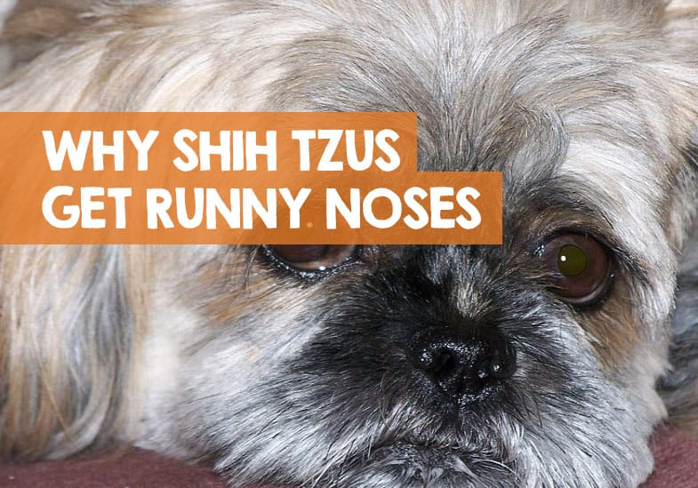 why my shih tzu has a runny nose