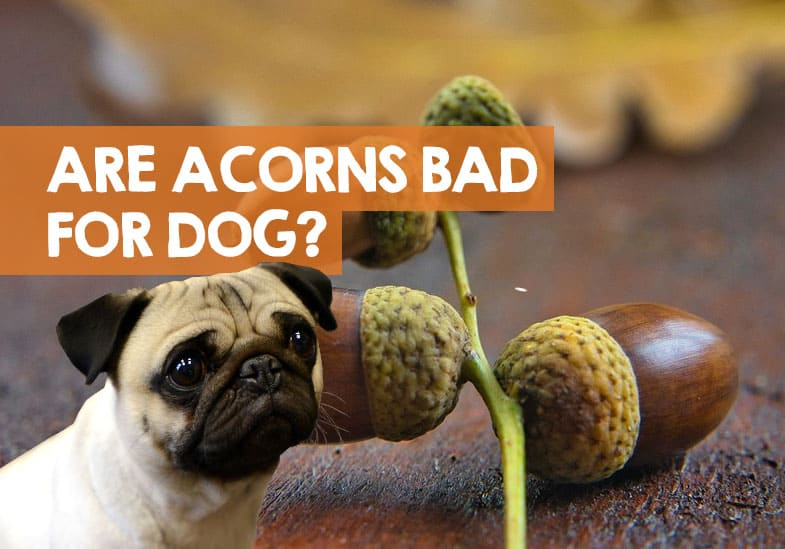 are acorns bad for dogs