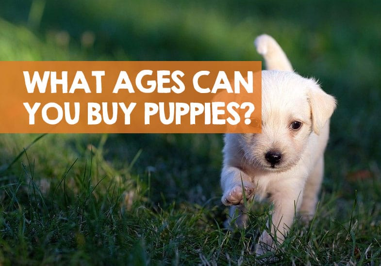 the best age to buy a puppy