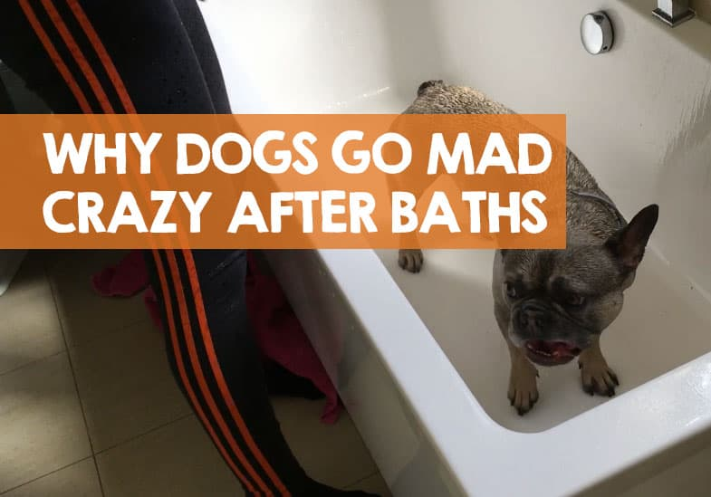 why do dogs go crazy after a bath