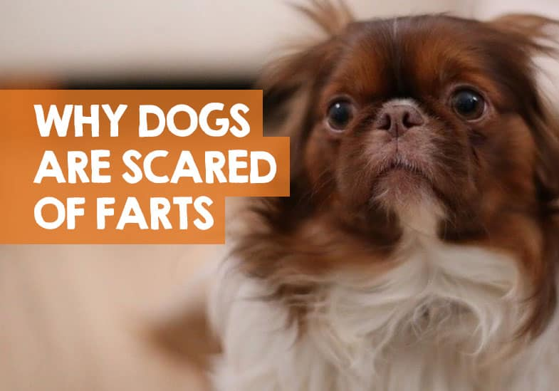Why Are Dogs Scared of Farts