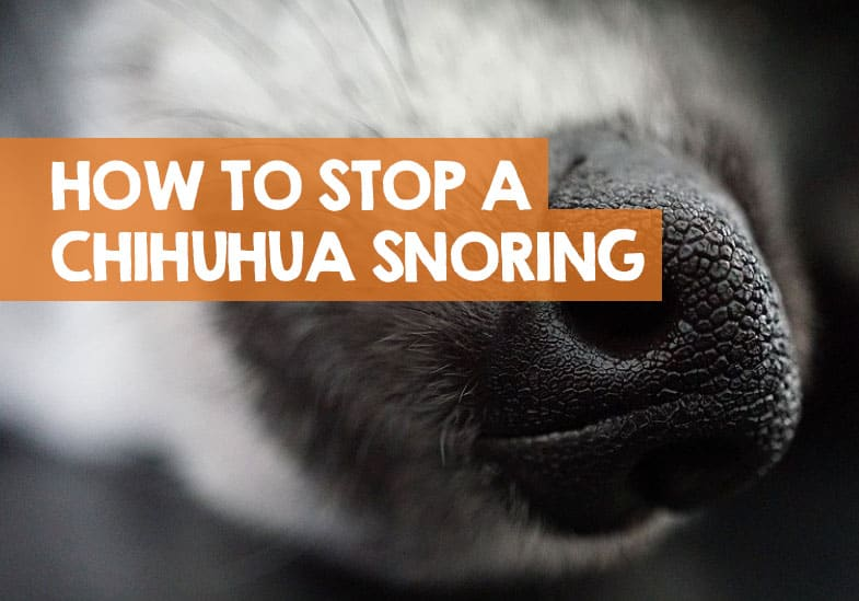 how to stop chihuahua snoring