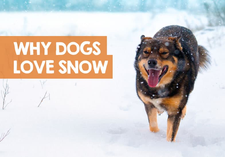 why dogs love snow