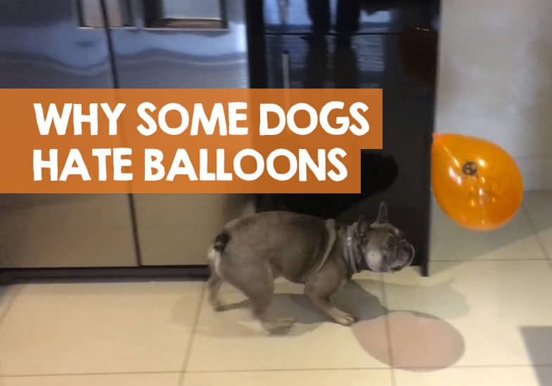 Why Are Dogs Scared of Balloons