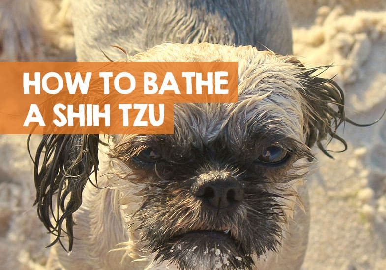 how to bathe a Shih Tzu