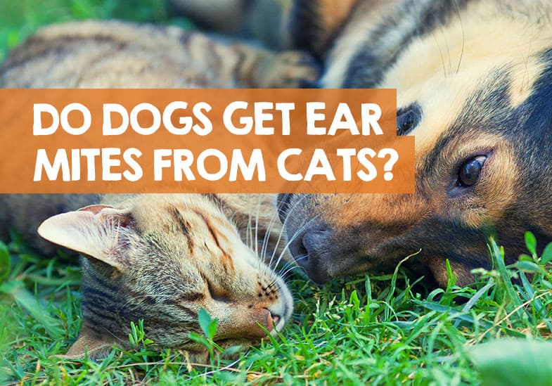 Can dogs get ear mites from cats
