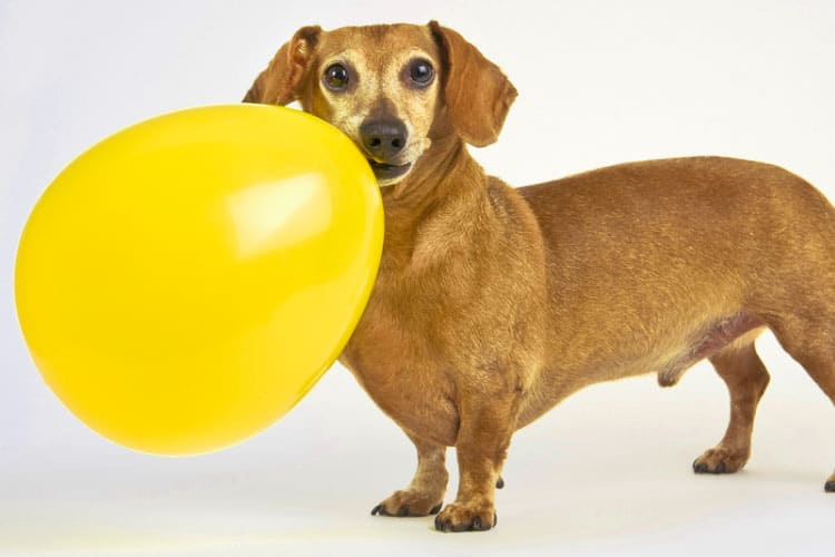 dog ate piece of balloon