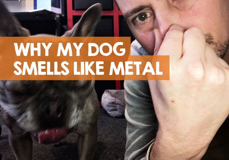 why my dog smells like metal