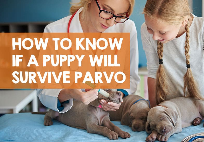 How Do I Know if My Puppy Will Survive Parvo