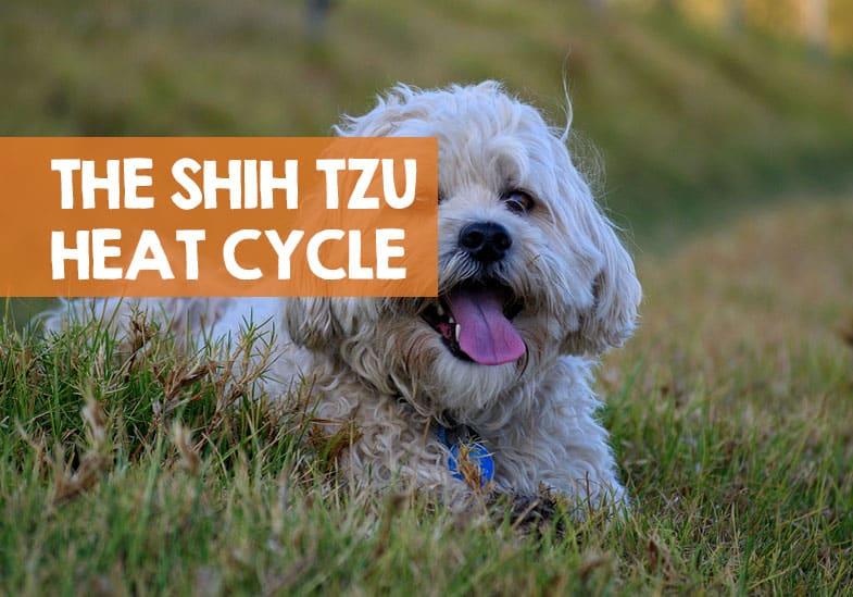 Shih Tzu heat cycle