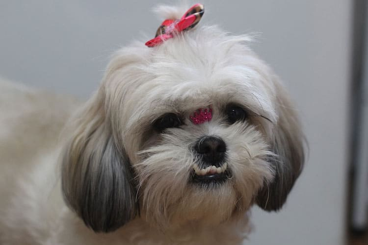 How long do shih tzus live on average