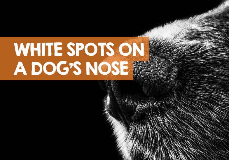 white spots on dogs nose