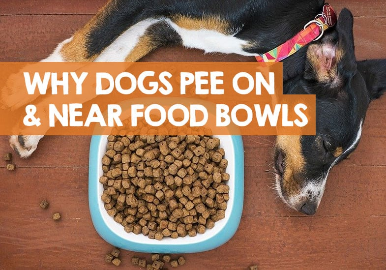 Why Does My Dog Pee on His Food Bowl