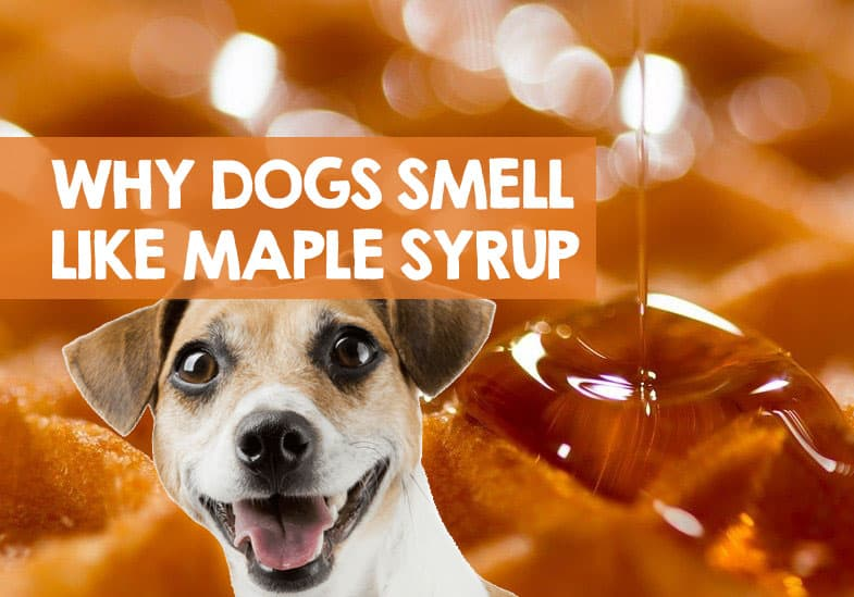why does my dog smell like maple syrup