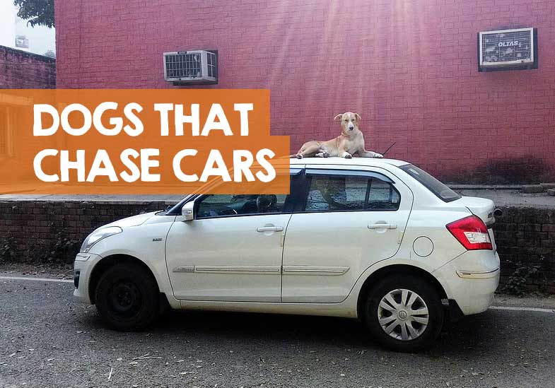 why do dogs chase cars
