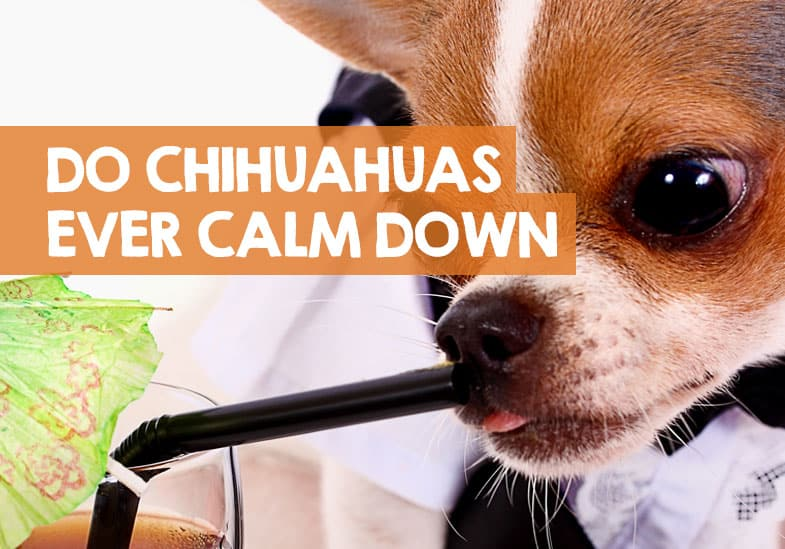 will my chihuahua ever calm down
