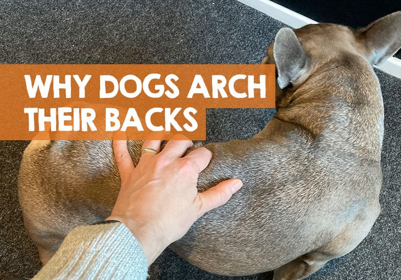 what does it mean when a dog arches its back