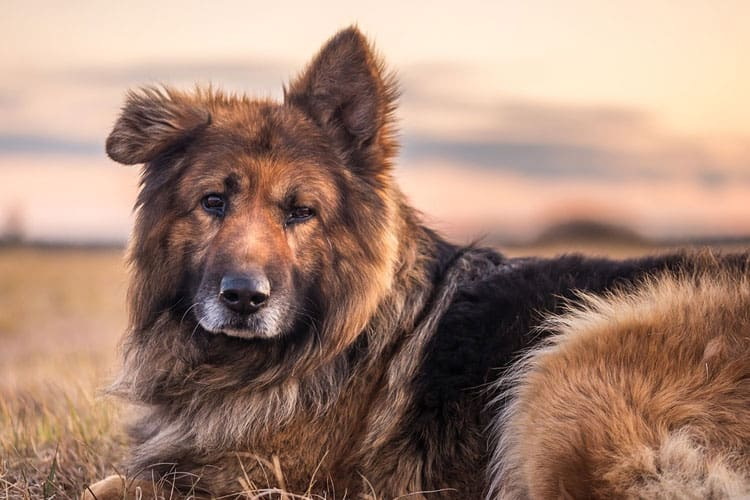 when do German shepherd ears stand up