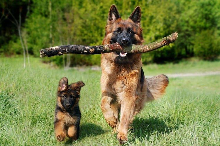 are German shepherds always hyper