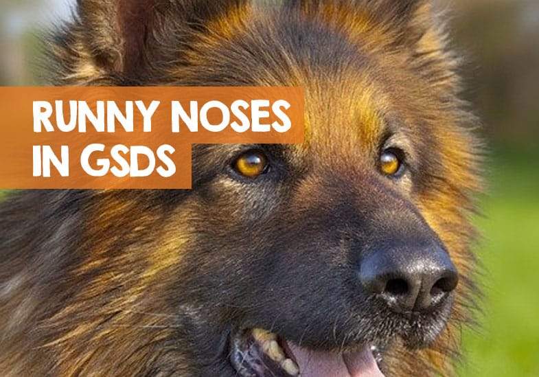 why German shepherd has runny nose