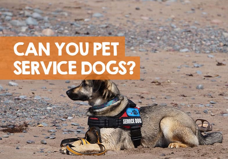 can you pet service dogs