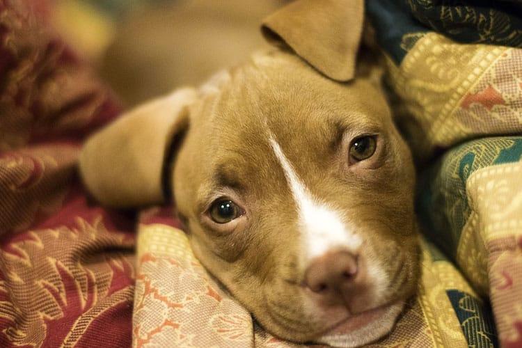 how do you housebreak a Pitbull puppy