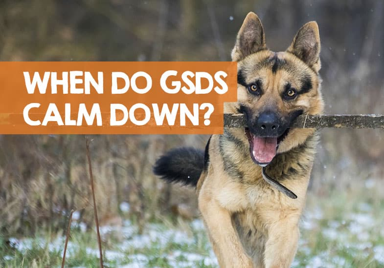 when do German shepherd puppies calm down