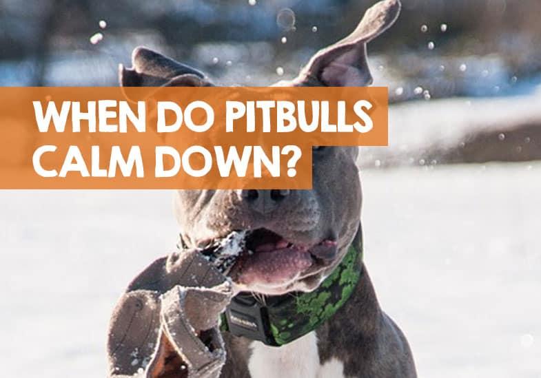 when to Pitbull puppies calm down