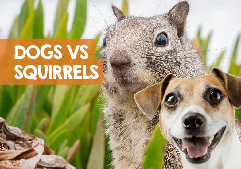 why do dogs chase squirrels