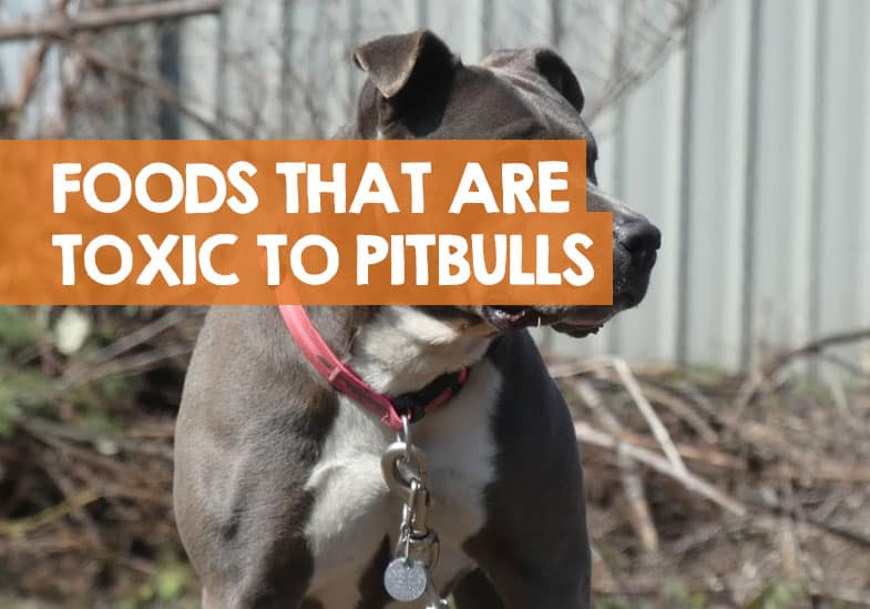 bad foods for pitbulls