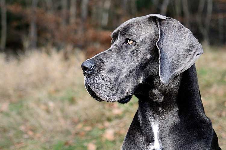 do Great Danes calm down after neutering
