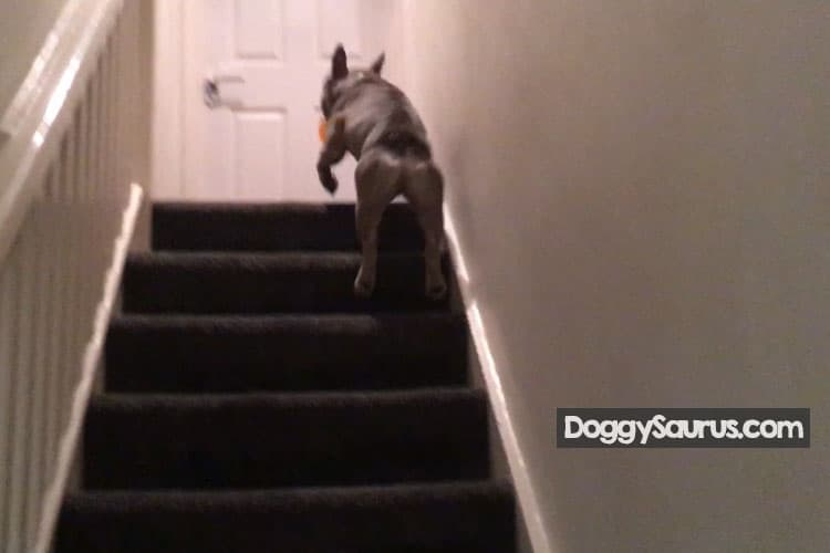 what age should puppies do stairs