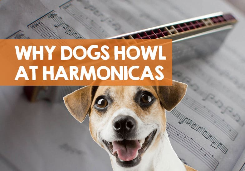 why dogs howl at harmonicas