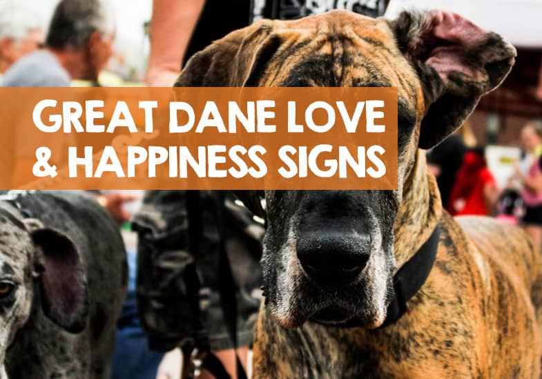 how to tell your Great Dane loves you