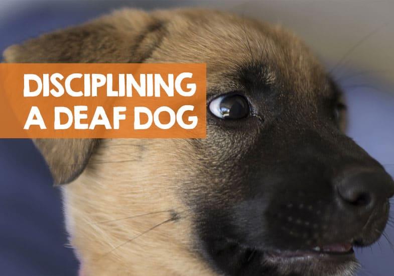 How to Discipline A Deaf Dog