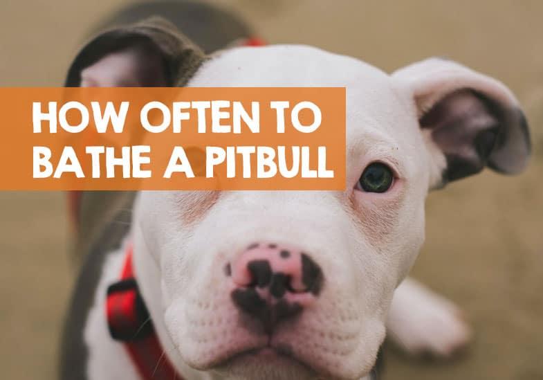 how often to bathe a pitbull