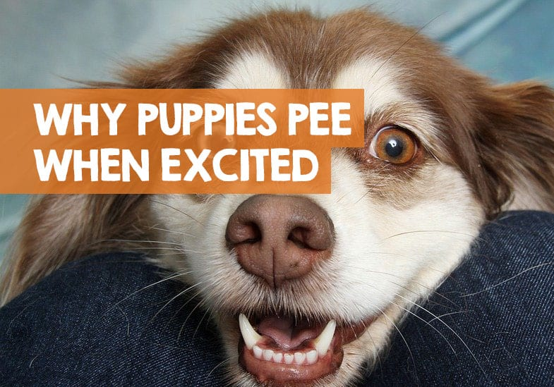 why do puppies pee when excited