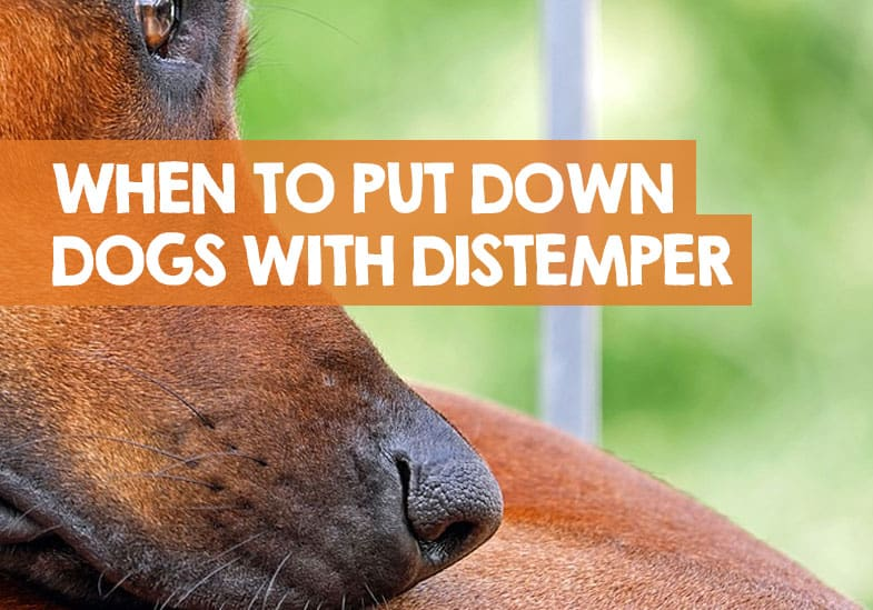 When to Put Down a Dog with Distemper
