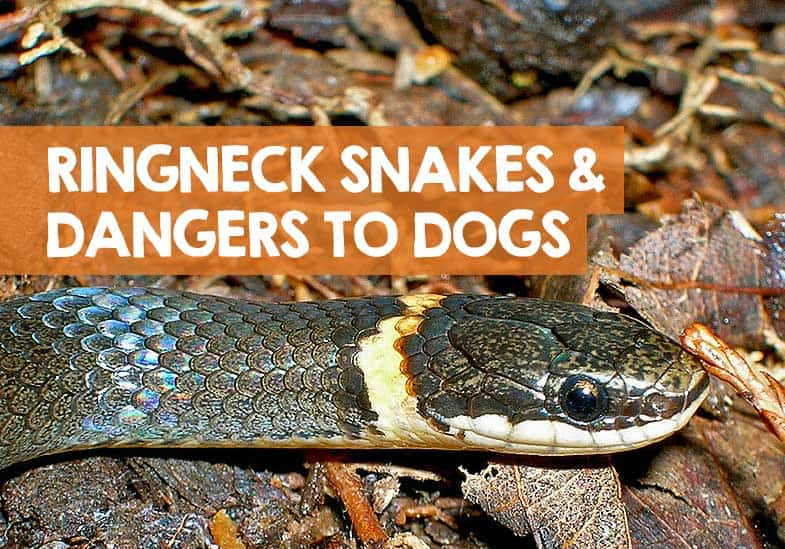 are ringneck snakes dangerous to dogs