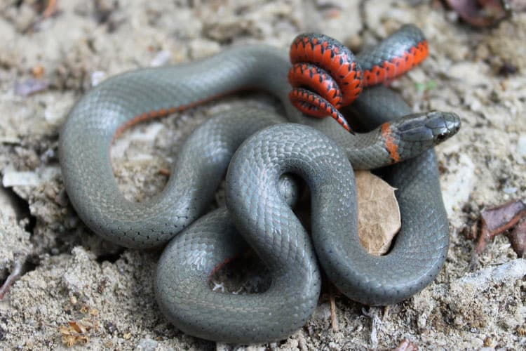 are ringneck snakes poisonous to dogs