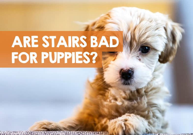 are stairs bad for puppies