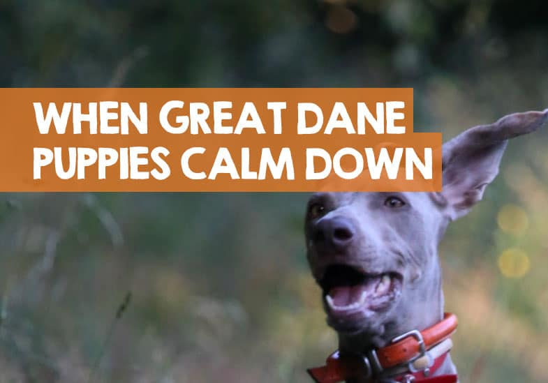 when do Great Danes calm down