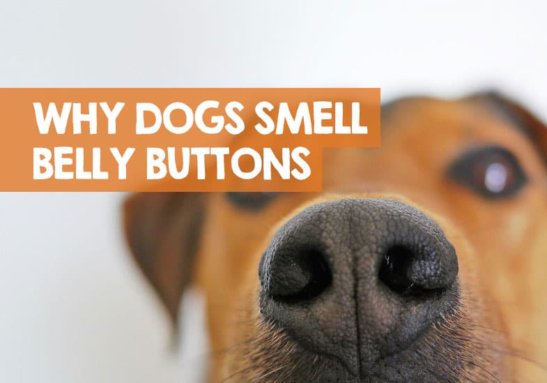 Why Does My Dog Smell My Belly Button? (What the Sniff Means)