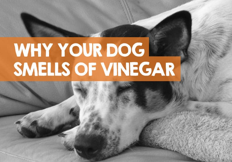 why dogs smell like vinegar