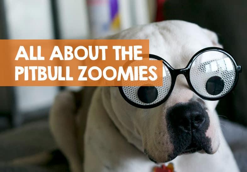 pitbull zoomies