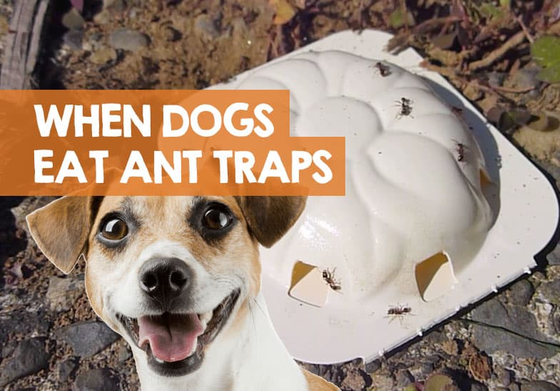 my dog ate an ant trap