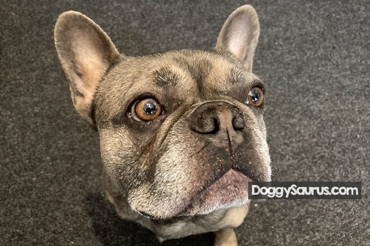signs your dog is going deaf